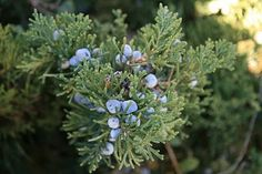 Juniper is a great evergreen to use for arrangements and wreaths. The blue berries make it really special. Juniper Tree, Juniper Berry, Juniperus Communis, Soul Healing, Unique Flowers, Sacred Art, Growing Flowers, Evergreen, Shrubs
