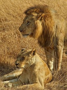 Lion and lioness in Kafue National Park #Zambia #Safari