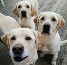 Labrador #labradorretriever