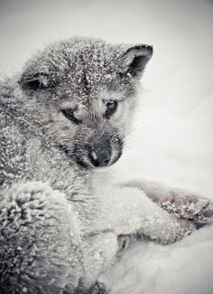 OK, this wolf pup isn't a pet, but we love dogs' ancestors too. Wolf Photos, Wolf Pictures, Animal Pictures, Animals And Pets, Baby Animals, Cute Animals, Strange Animals, Nature Animals, Wolf Spirit