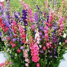 Seed, Larkspur Mix - The Gardener's Workshop Larkspur, Delphinium consolida – 100 seeds avg. Tall Flowers, Growing Flowers, Planting Flowers, Planting Seeds, Flower Gardening, Flowering Plants, Summer Flowers, Tall Perennial Flowers, Snapdragon Flowers