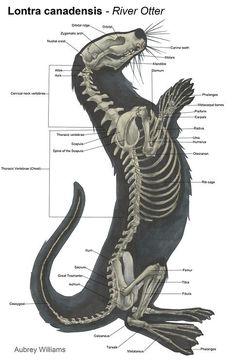 Otter Anatomy