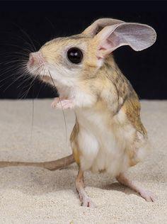 Small Animals, Rare Animals, Funny Animals, Long Eared Jerboa, Kangaroo Rat, Pet Mice, Art Inspiration Drawing, Little Critter, Tier Fotos