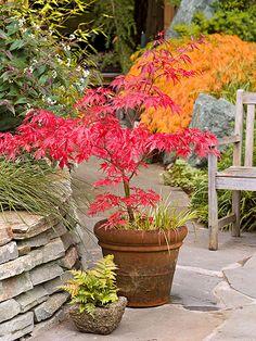 Bordos japoneses em um tom de fogo são de arregalar os olhos no outono. Cultivados em vasos, eles podem ser movidos para onde você quiser.