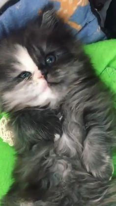 Cute Kitten Gif, Cat Gif, Kittens Cutest, Cats And Kittens, Cutest Kitten Breeds, Cute Puppies And Kittens, Cutest Pets, Funny Cat Videos, Funny Cat Memes