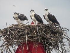 Ospreys near Tilghman Island on Maryland's Eastern Shore   Flickr - Photo Sharing!