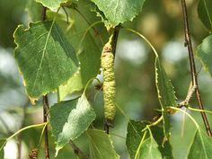 Bříza bělokorá (Betula pendula), je listnatá dřevina z čeledi břízovitých
