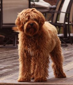 Gunner has been matched with Haley of Valley Vineyard Labradoodles to produce mini's with non-shedding fleece fur this spring. Picture courtesy of Spring Creek Labradoodles.