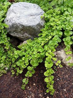 The yerba buena plant makes an attractive ground cover or can be used in a hanging basket. It grows in a variety of soils and is drought tolerant. Photo: Annie's Annuals & Perennials