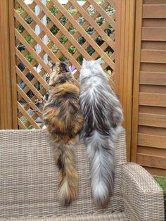 Puk en Terry - wat een mooie pluimen - Maine coons