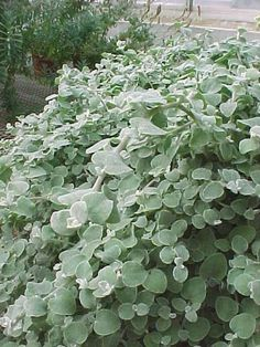 SHADE PLANT helichrysum petiolare (licorice plant), good low spreader for pots