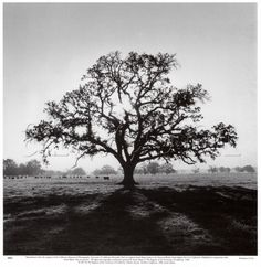oak tree tattoos | Oak Tree, Sunrise- By Ansel Adams | Tattoos