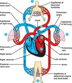 How do you read a blood flow diagram?
