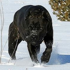 Cane Corso, one day I will have one...and his name will be Bruton