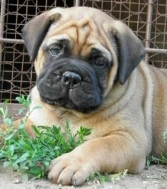 Bullmastiff Puppy!!! So stinking cute.