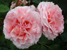 The Best Climbing Roses