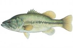 Largemouth Bass: Found in lowland lakes, artificial impoundments of all sizes, permanent pools of streams, and quiet backwaters of large rivers. Thrives in warm, moderately clear waters with little or no current.   Missouri Department of Conservation