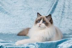 2 Januari 2016. 7 Maand oud. Ragdoll Lady Sif, Cats, Gatos, Kitty Cats, Cat Breeds, Kitty, Cat, Kittens