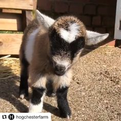 Cute Funny Animals, Cute Baby Animals, Farm Animals, Puppy Care, Pet Puppy, Happy Video, Nigerian Dwarf Goats, Cute Goats, Long Haired Cats
