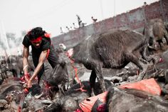 Animal Slaughter Festivals in The Name Of God They can't speak, but they can feel the pain, they can hurt too!!! #Gadhimai