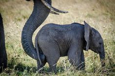 I guess a mother trying to get her young one moving is universal - even with elephant moms African Elephant, African Safari, Primates, Mammals, Baby Animals, Cute Animals, Baby Elephants, Funny Animals, Elephant Love