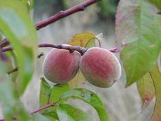 Growing Fruit Trees, Healthy Dinner Recipes, Gardening Tips, Fruit Fruit, Bio, Farms, Flowers, Gardens, Fruits And Veggies