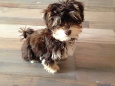 My little girl Ivy is 4 months today. She is a chocolate havanese