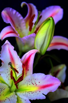 Oriental Lily ~ Lilies by KurtQ* Exotic Flowers, Tropical Flowers, Amazing Flowers, Beautiful Flowers, Beautiful Gorgeous, Absolutely Gorgeous, Calla, Oriental Lily, Plantation