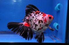 Calico Ryukin Goldfish | Calico Broadtail Ryukin » DandyOrandas.com