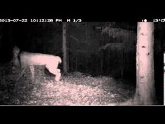 Lynx mother and two cubs caught on Scandlynx video