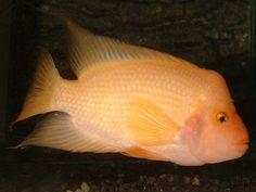 RED DEVIL CICHLID COLORED regular - Cichlids Cool Fish, Freshwater Aquarium Fish, African Cichlids, Underwater Life, Aquariums, Tropical Fish, Fresh Water, Devil, Dog