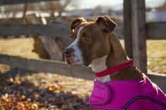 Mickey is a gorgeous American Staffordshire Terrier/Chesapeake Bay Retriever looking for a new home in Sherwood, OR! She's available through Born Again Pit Bull Rescue! See her page for more information!