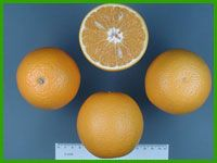 Biggest Selection of Citrus and Tropical Fruit Trees in Tampa Bay