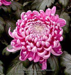 Crisantemo | Hagoromo Intermediate IncurveMums