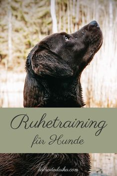 Rest training - Labrador Laika - This way your dog learns how to relax in the restaurant - Dog Playground, Goldendoodle, Border Collie, Dog Training, Thor, Your Dog, Husky, Labrador, Dog Cat