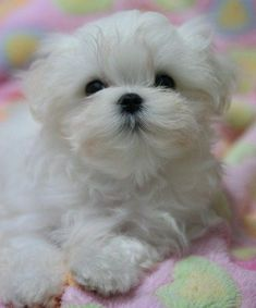 Maltese and Children: Is It a Good Combination - Champion Dogs Teacup Puppies, Cute Puppies, Cute Dogs, Dogs And Puppies, Doggies, Teacup Maltese, Beautiful Dogs, Animals Beautiful, Cute Baby Animals