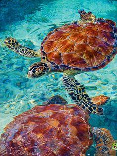 Bora Bora, French Polynesia - One of Bora Bora's best experiences, swimming with the sea turtles at Le Meridien Bora Bora's Sea Turtle Sanctuary