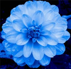 Dahlia in Blue