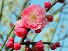 【コウバイ】紅梅 和名:ブンゴウメ(豊後梅)紅花 英名:Japanese apricot 学名:Prunus mume var. bungo