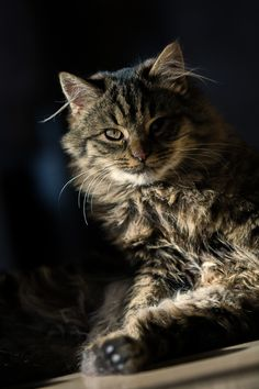 Maine Coon...Reminds me of my Maximus.