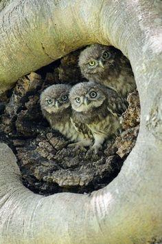 three owl chicks