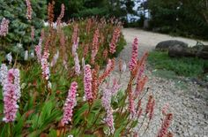 Himalayan Fleeceflower is a hardy, creeping perennial that we use on some of our harshest sites.
