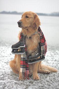 Golden retriever and hockey skates! Cute Puppies, Dogs And Puppies, Cute Dogs, Doggies, Golden Retrievers, I Love Dogs, Puppy Love, Animals Beautiful, Cute Animals