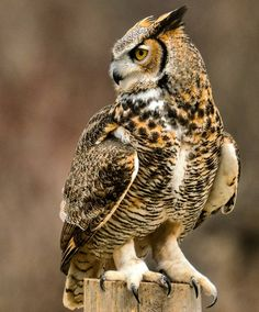 Birds in the Heartland: Great Horned Owl Beautiful Owl, Animals Beautiful, Cute Animals, Owl Photos, Owl Pictures, Owl Bird, Pet Birds, Southern Girl Names, Southern Baby