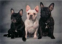 French Bulldog Puppy Photo: This Photo was uploaded by CarolineJ_2009. Find other French Bulldog Puppy pictures and photos or upload your own with Photo...