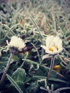 Gänseblümchen in Eis.  #pflanzenfreude #daisy #winter #pflanzen #frost #plants