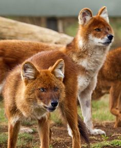 Dhole - Asiatic wild dog. Endangered. Makes all kinds of sounds like whistle, even cluck, but no howl.