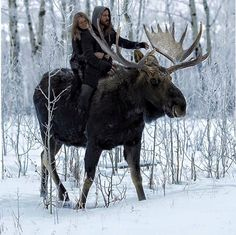 Wow! Tame bull moose