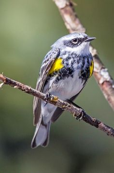 The Ultimate Guide To Backyard Bird Photography - Yellow-rumped warbler