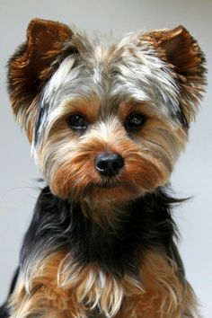 Yorkshire terrier owners often ask How often should you bathe a Yorkie. Read lots of tips about Yorkie bathing here. Cute Dogs, Cute Puppies, Dogs And Puppies, Samoyed Puppies, Rottweiler Puppies, Chien Yorkshire Terrier, Yorkshire Terrier Haircut, Yorkie Cuts, Yorkie Teddy Bear Cut